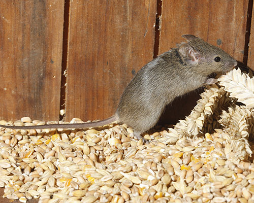 Mouse Eating Wheat