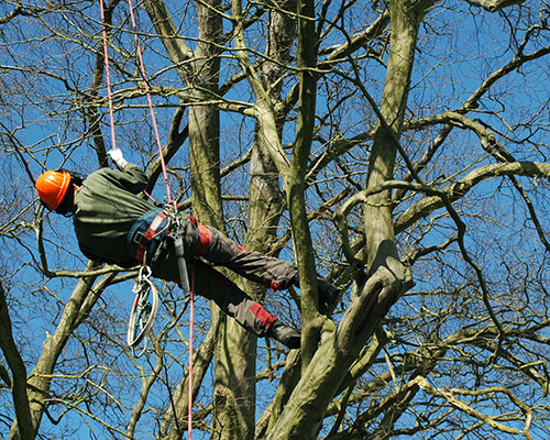 Tree Surgeon Climbing a Tree in a safety harness